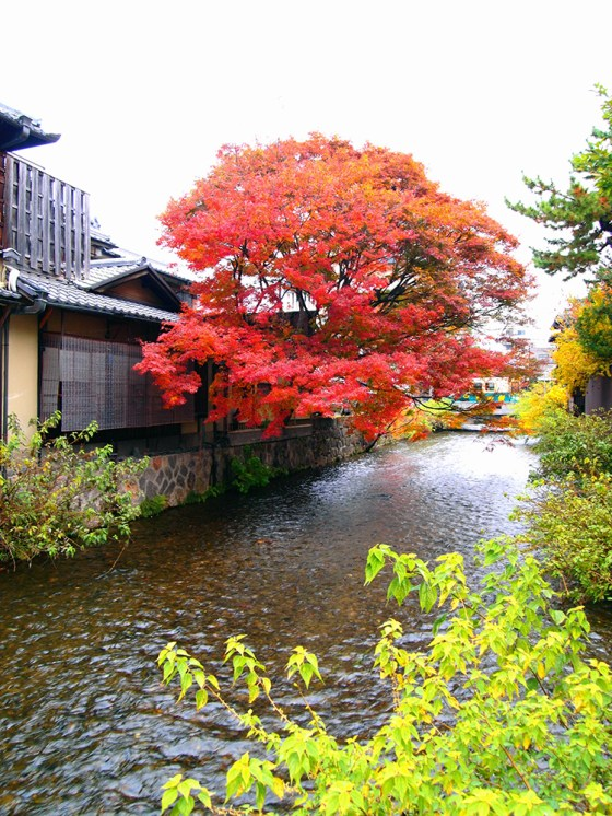 Japanese maple tree in full autumn glory at Shirakawa Gion Kyoto