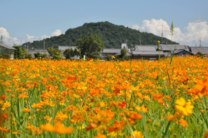 Fujiwara Palace Ruins Nara Kashihara - Orange Cosmos in Summer
