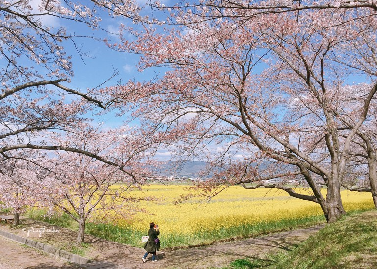 Fujiwara Palace Ruins Nara - Cherry Blossoms Yellow Rapeseed Flowers Mountain