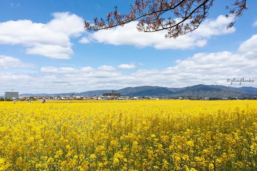 Nara Fujiwara Palace - Cherry Blossoms Canola Flower Mountains Yamato
