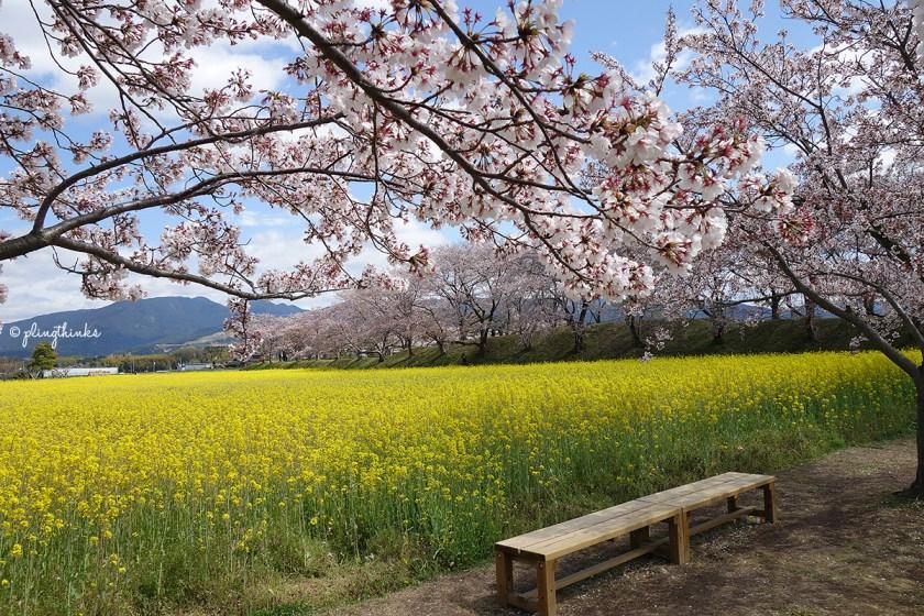 Nara Fujiwara Palace Ruins - Cherry Blossoms Canola Flowers