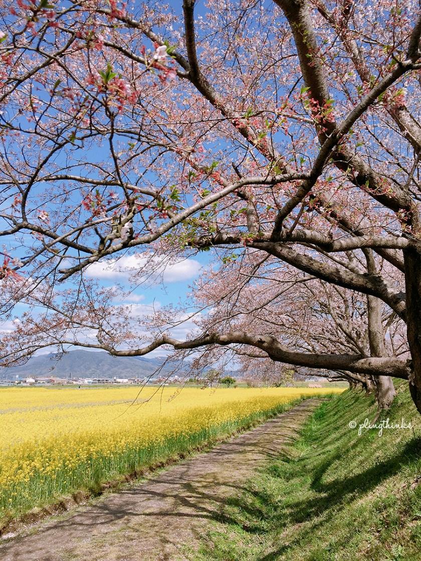 Cherry Blossom Path Rapeseed Flowers - Nara Fujiwara Palace Ruins