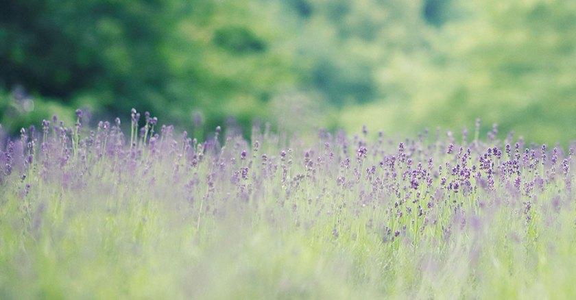 Lavender Garden - Kobe Nunobiki Herb Gardens