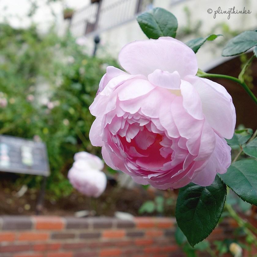 Pemberton Roses - Nunobiki Herb Gardens Kobe Japan