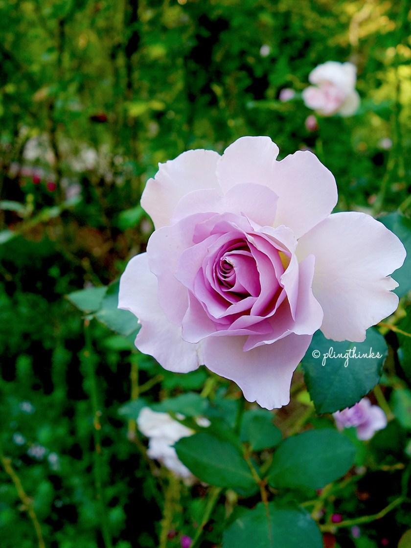 Rose Garden - Kobe Nunobiki Herb Garden