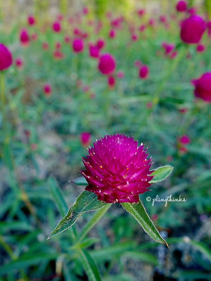 Kobe Nunobiki Herb Garden - Rosemary Flower