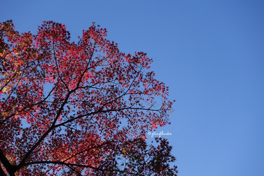 Red Maple Leaves Against Sky - Jojakko-ji Arashiyama Kyoto