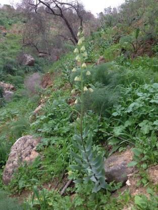 Fritillaria persica, RBG site