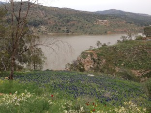 Lupinus pilosus, RBG site over looking King Talal Dam