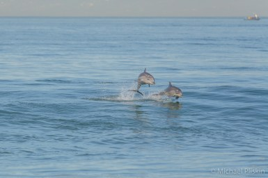 Dolphins near the Redondo shore