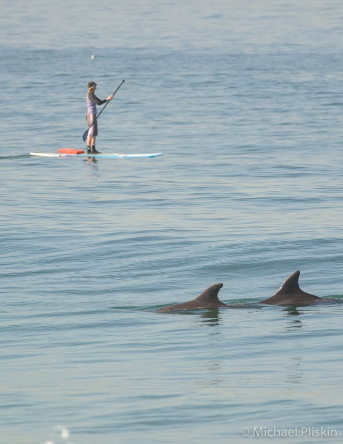 Stand-up paddle boarder seems oblivious to the dolphins