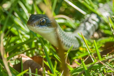 Snake in the grass - Everglades National Park