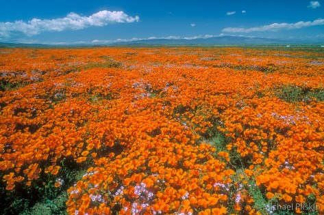 Poppy Fields in Lancaster, California