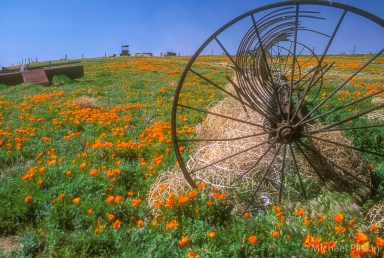 Rusty farm implements among the poppies