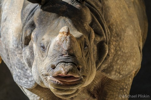 White Rhino in the Los Angeles Zoo