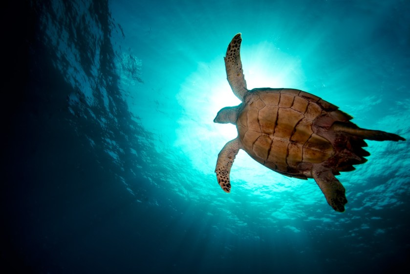 Swim with turtles in Barbados at Plombagine Cottage