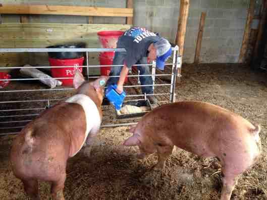feeding fair pigs