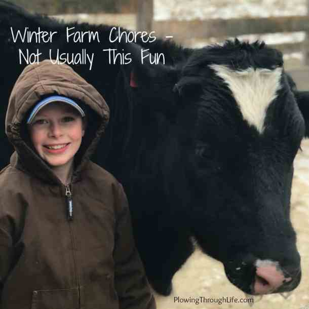 little farmer by a dairy steer doing farm chores in winter