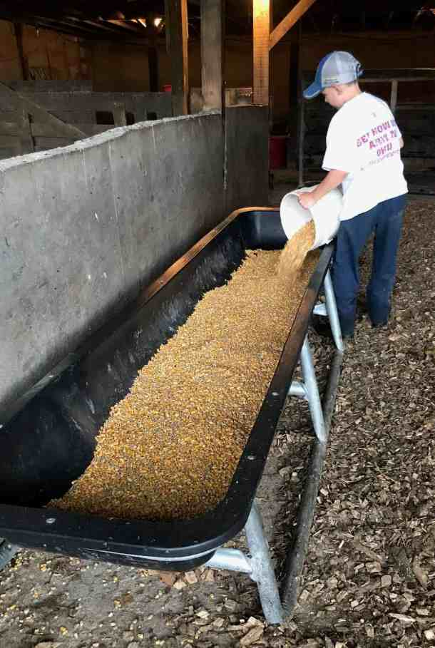 corn in trough for dairy feeder calf