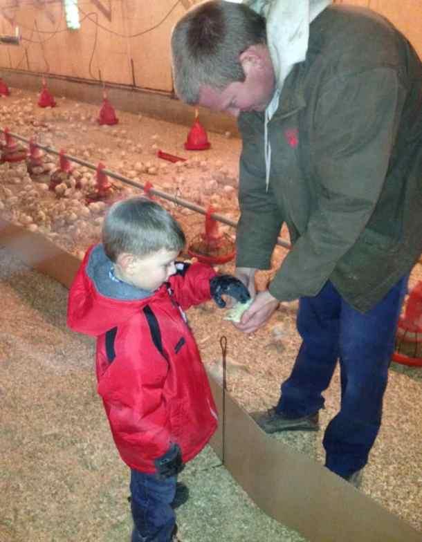 turkey poult inside a barn