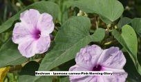 Beshram - Ipomoea carnea-Pink-Morning-Glory