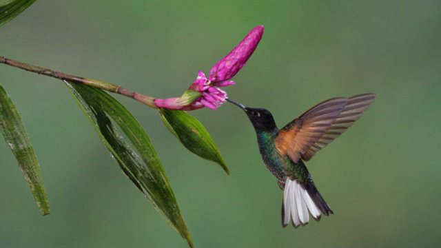 extincion-colibri