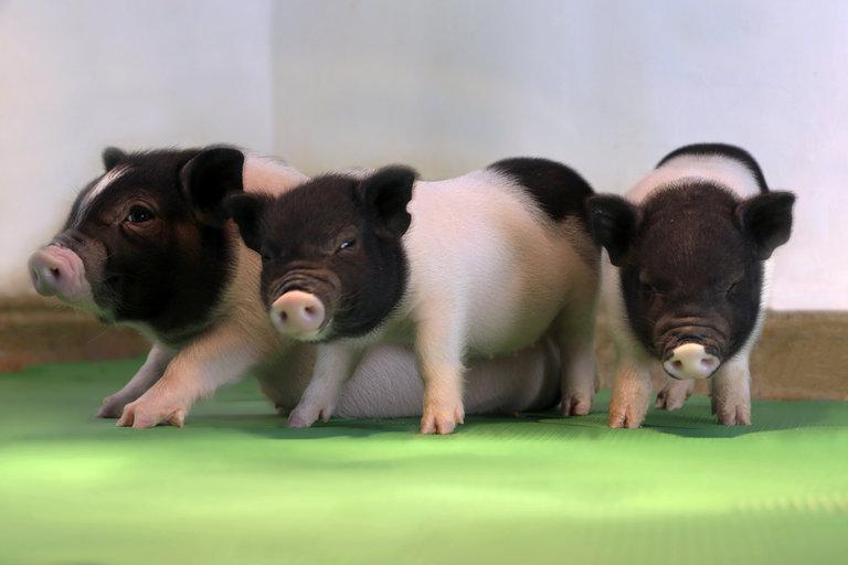 Editan retrovirus de ADN de cerdos clonados para futuros transplantes de órganos