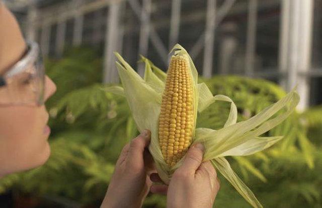 maíz híbrido