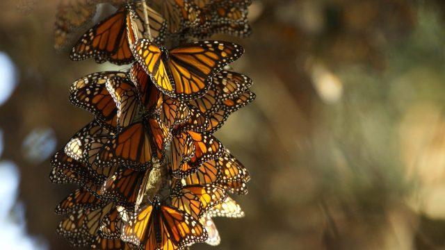 mariposas monarca se ven en riesgo por cambio climático o tala ilegal