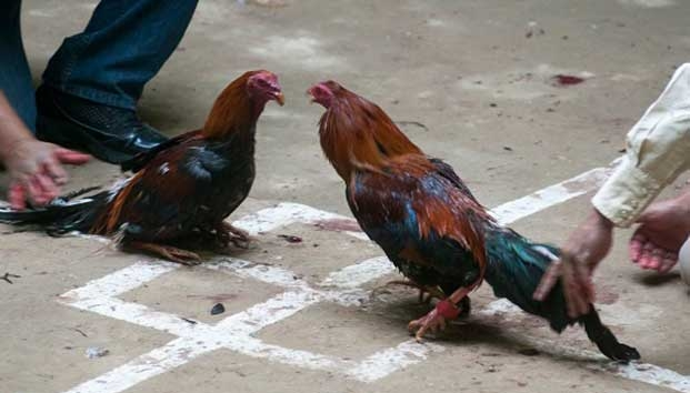 Gallero muere apuñalado... por su propio gallo