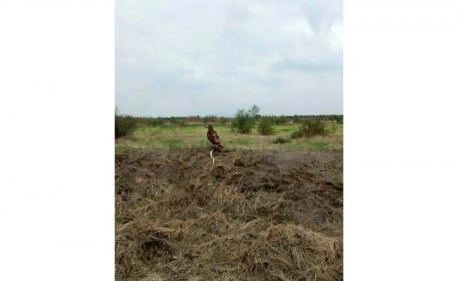 Encuentran un águila devorando una serpiente en el NAICM