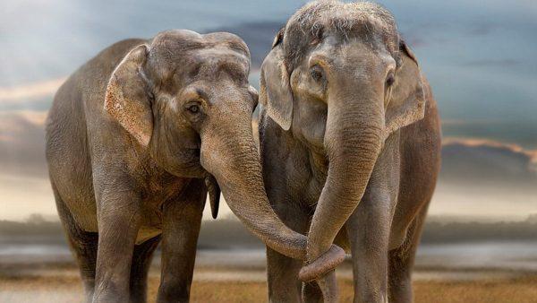 caza furtiva, elefantes, evolución