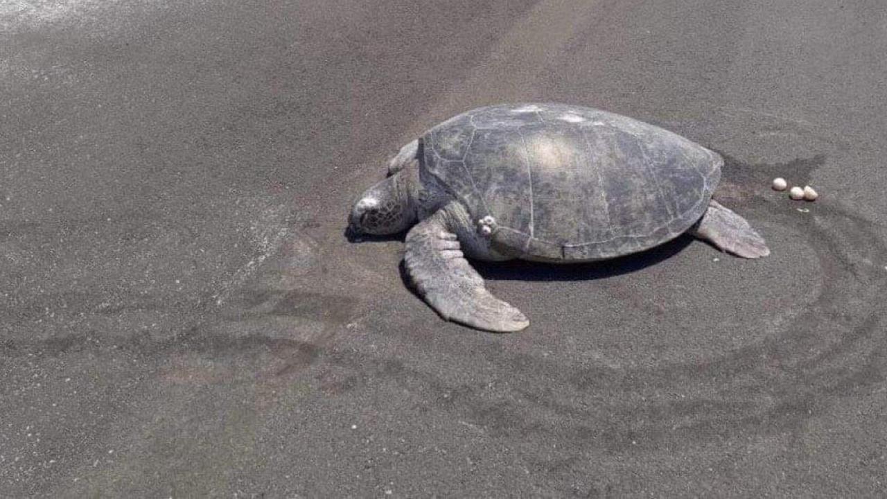 Tortuga intenta desovar pero no hay playa