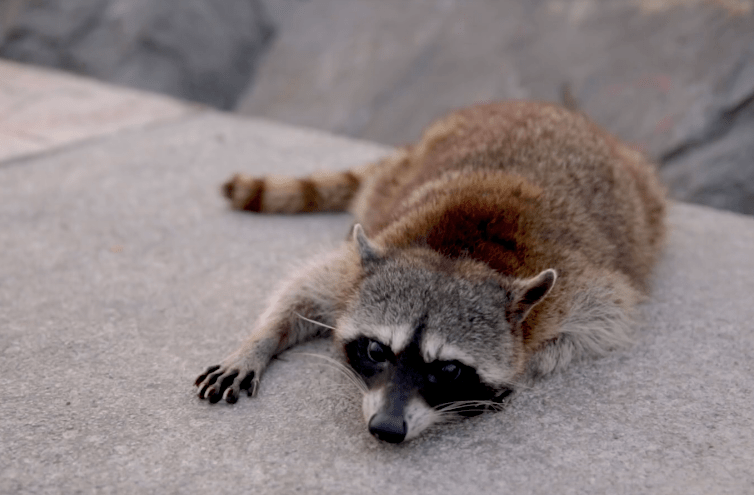 Los mapaches de Playa Miramar en Tamaulipas