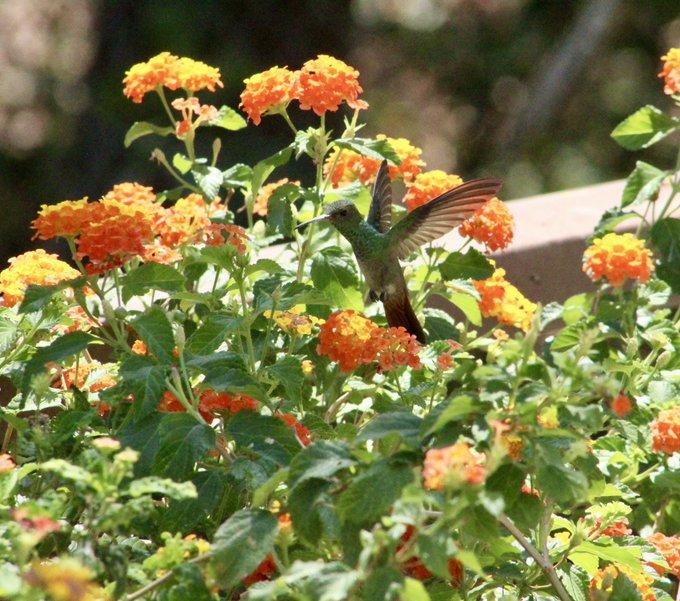 UNAM crea jardines para colibríes en CDMX