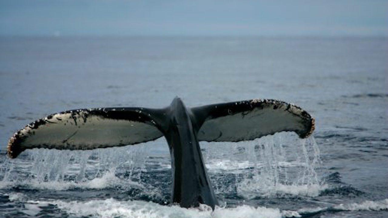Después de 33 años, Japón reanuda caza de ballenas