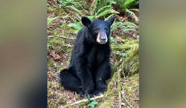 ¿De verdad sacrificaron a un oso negro por ser muy amable?