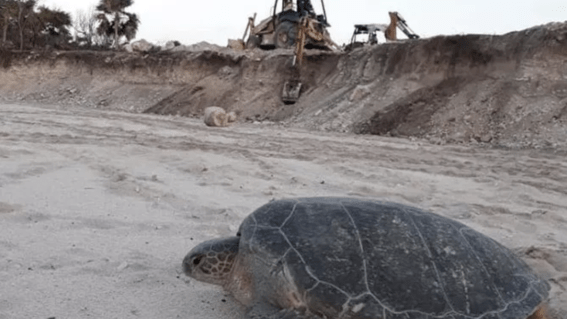 Semarnat aprobó proyecto hotelero aunque perjudique a las tortugas