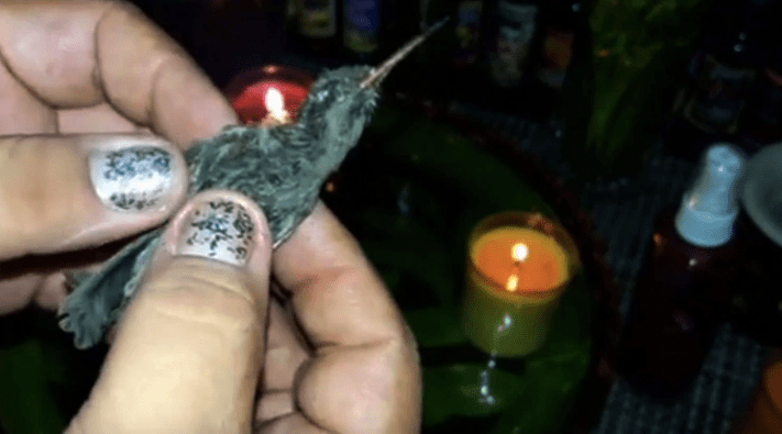 Colibríes están en peligro de extinción por amarres de amor