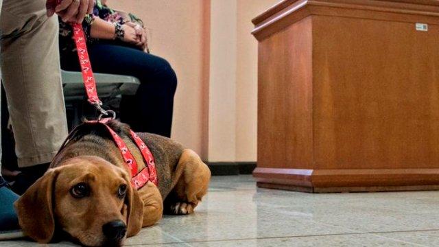Campeón, perro víctima de maltrato animal asiste a juicio