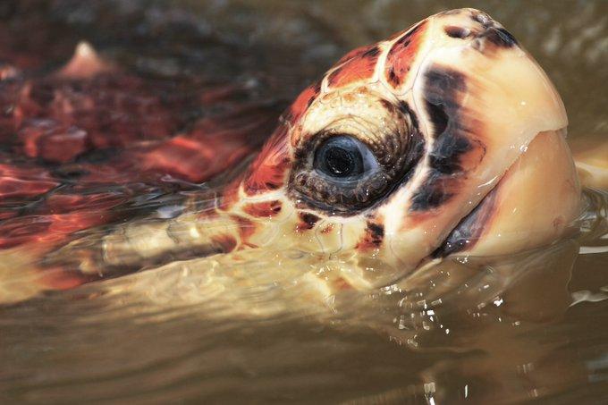 Semarnat se olvida de las tortugas