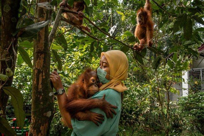 Los orangutanes son las víctimas del aceite de palma
