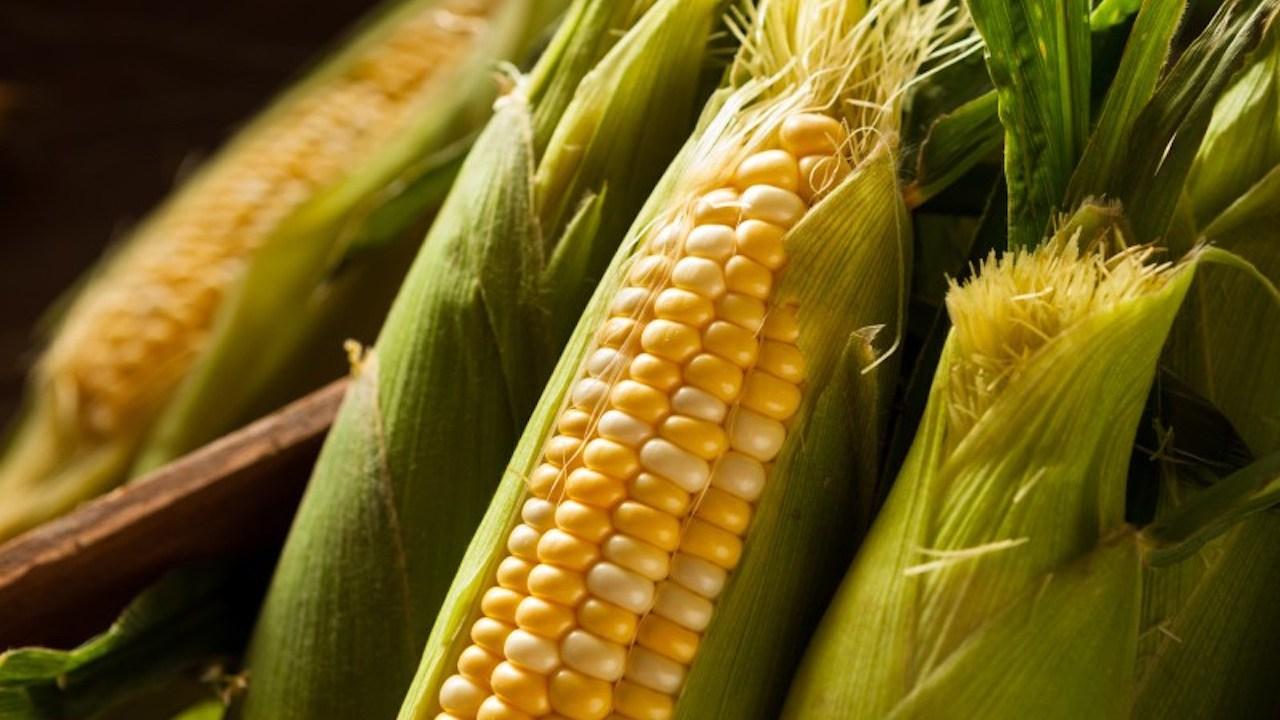 Senado busca proteger maíz nativo de transgénicos