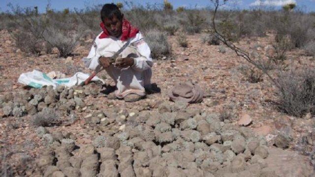 Podría ser legal el uso de peyote en ceremonias religiosas.