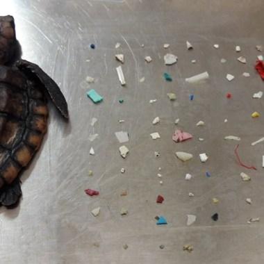 Tortuga muere en Florida tras ingerir 104 piezas de plástico