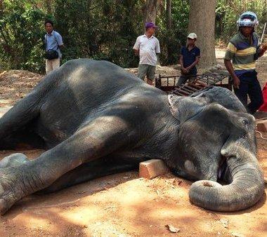 Elefante muere de cansancio por cargar turistas en Camboya
