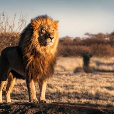 Cazadores envenenan a leones para usarlos en magia negra