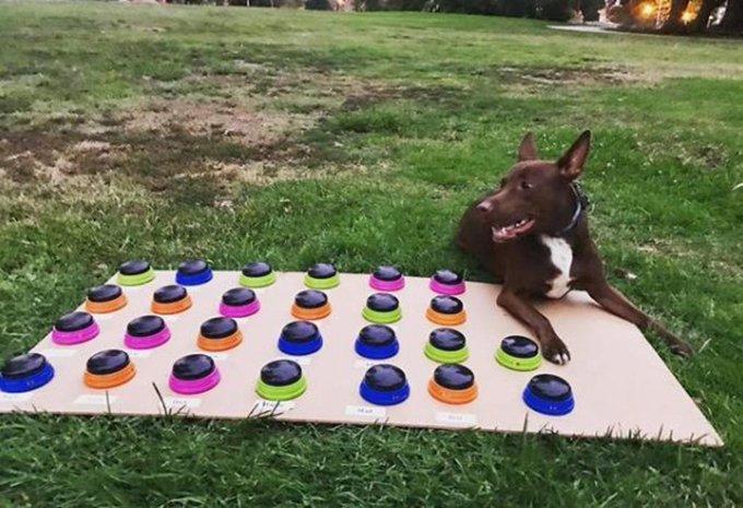 Una perrita pitbull se comunica mediante un tablero