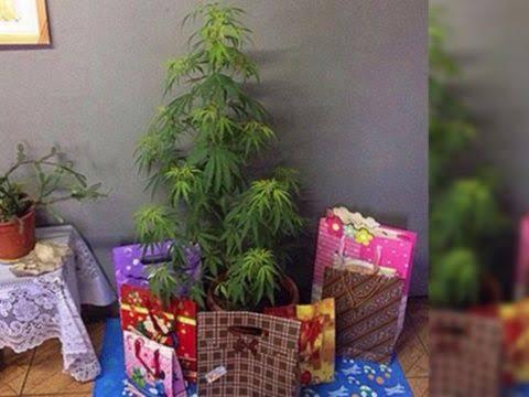Arrestan hombre por poner árbol de navidad de marihuana.