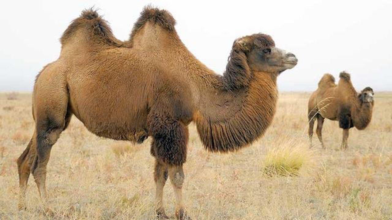 En Australia sacrificarán a 10 mil camellos para combatir la sequía